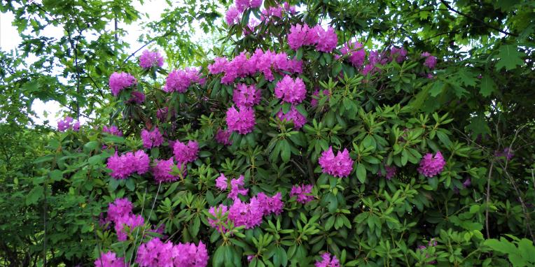 large pink flowers on a green bush
